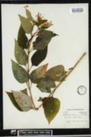 Heliopsis helianthoides image