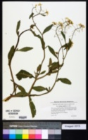 Rorippa amphibia image