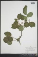 Styrax platanifolius image