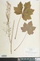 Image of Heuchera villosa