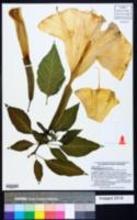 Image of Datura sanguinea