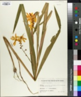 Image of Crocosmia aurea