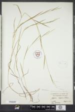 Torreyochloa pallida image