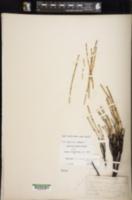 Equisetum × nelsonii image