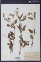Image of Bidens leucantha