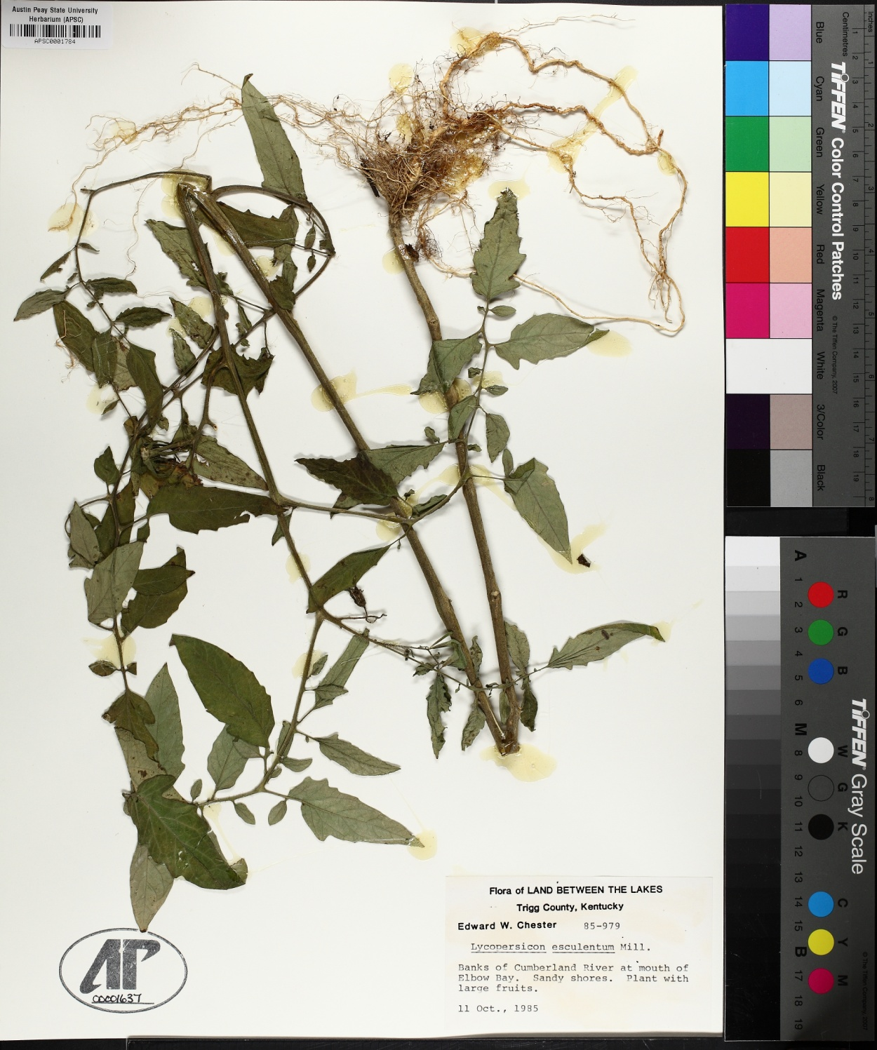 Lycopersicum esculentum image