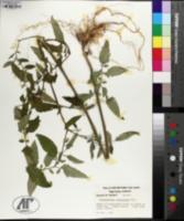 Image of Lycopersicum esculentum