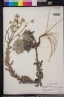 Chrysopsis godfreyi image