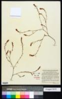 Polygonum spergulariiforme image