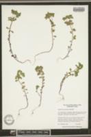 Image of Euphorbia ouachitana