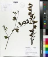 Image of Baptisia x sulphurea