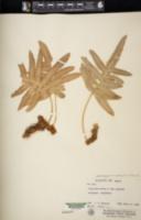Phlebodium aureum image