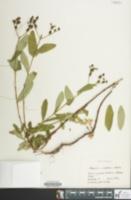 Image of Hypericum nudiflorum