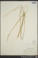 Panicum geminatum image