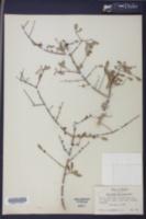Forestiera pinetorum image