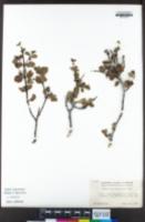 Image of Ceanothus pinetorum