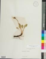 Image of Primula frigida