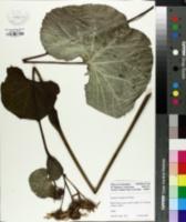 Image of Ligularia hodgsonii