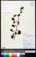 Image of Ruprechtia triflora