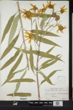Image of Helianthus kellermanii