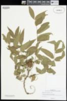 Juglans microcarpa image