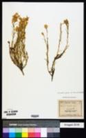 Ericameria parryi var. howardii image