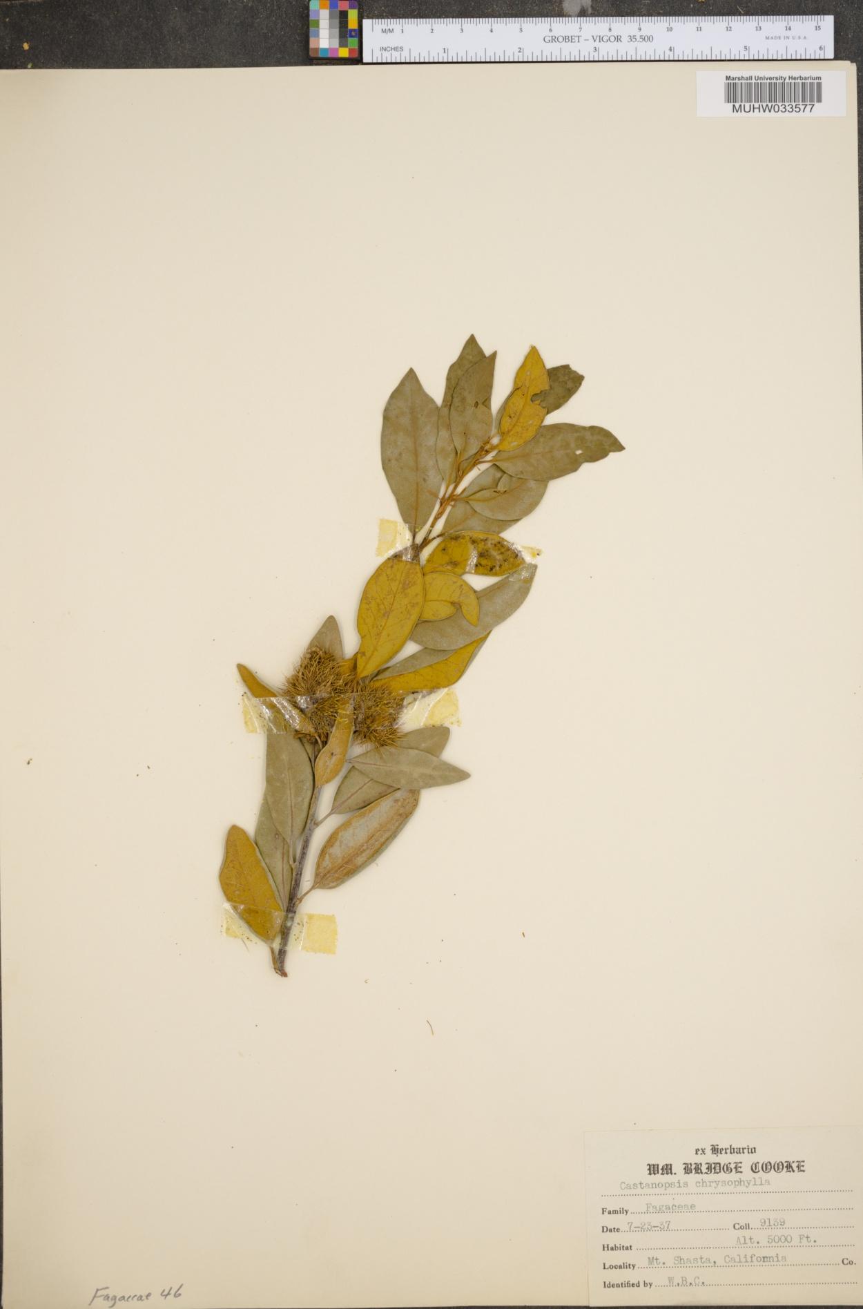 Castanopsis chrysophylla image