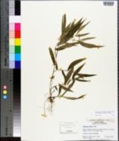 Panicum clutei image
