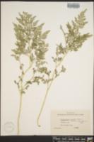 Image of Selaginella braunii