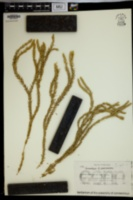 Lycopodium passerinoides image