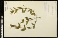 Image of Ruellia pinetorum