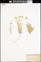 Erigeron poliospermus image