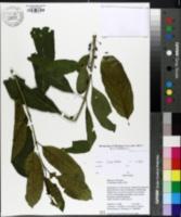 Rhamnus utilis image