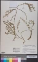 Gratiola brevifolia image