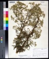 Eupatorium hyssopifolium var. laciniatum image