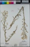 Erigeron canadensis image