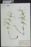 Galium arkansanum image