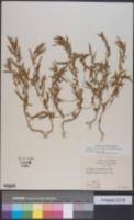 Image of Acalypha monococca