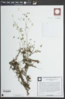 Image of Oxalis colorea