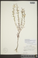 Dicerandra fumella image
