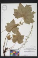 Heuchera villosa var. villosa image