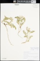 Polemonium pulcherrimum image