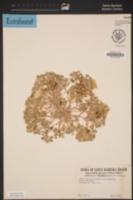 Langloisia setosissima subsp. setosissima image