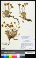 Eriogonum ochrocephalum var. alexandrae image