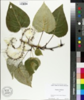 Populus candicans image