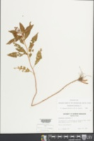 Penthorum sedoides image