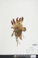 Image of Sarracenia x catesbaei
