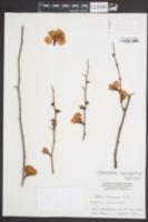 Image of Chaenomeles lagenaria