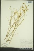 Ranunculus bongardii image