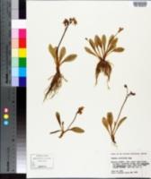 Image of Primula cusickiana